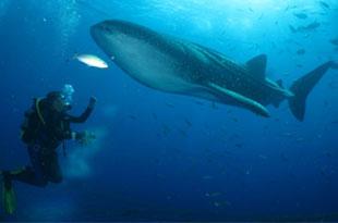 沖繩 鯨鯊海中漫步